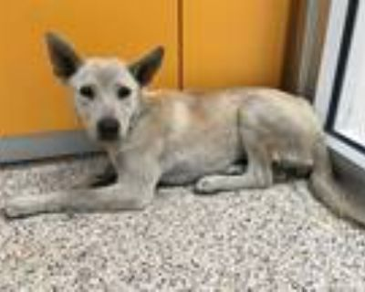 Adopt SILVER a White - with Black German Shepherd Dog / Mixed dog in Los