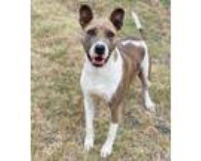 Adopt Bernadette a Pit Bull Terrier, Mixed Breed