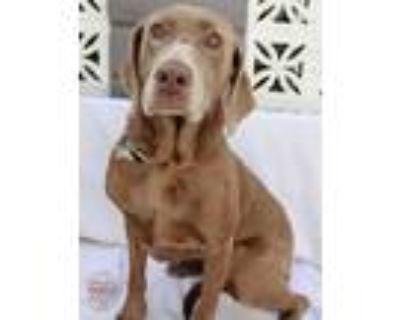 Adopt Macy a Labrador Retriever, Weimaraner