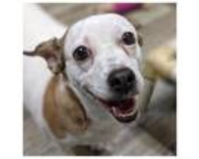 Adopt BrynLee a Jack Russell Terrier