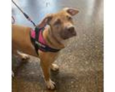 Adopt Maple Breeze a Tan/Yellow/Fawn American Staffordshire Terrier / Mixed dog