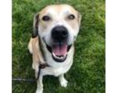 Adopt Henry a Tan/Yellow/Fawn Black Mouth Cur / Hound (Unknown Type) / Mixed dog