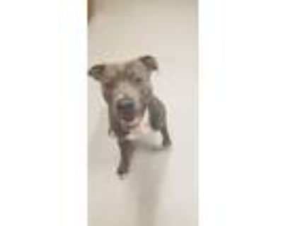Adopt A316443 a Pit Bull Terrier, Mixed Breed