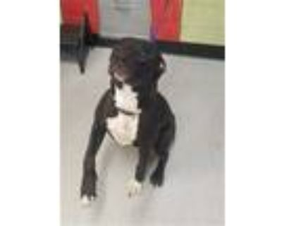 Adopt MEISHA a Black - with White American Pit Bull Terrier / Mixed dog in