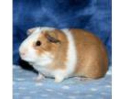 Adopt Rudy a Guinea Pig