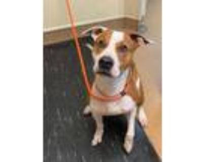 Adopt Rocky (Main Campus) a Brown/Chocolate American Pit Bull Terrier / Mixed