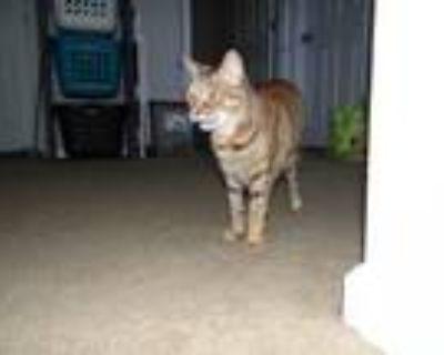 Adopt Neolani a Brown Tabby American Shorthair / Mixed cat in Hampton