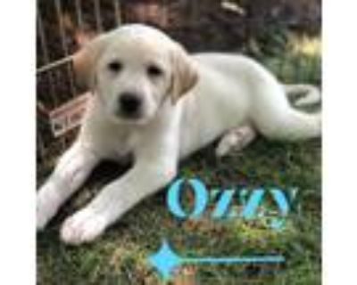 Adopt Ozzy a White - with Tan, Yellow or Fawn Great Pyrenees / Labrador