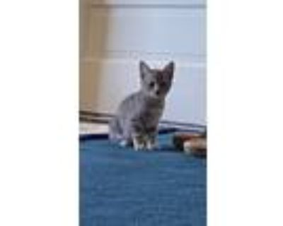 Adopt Blueberry a Gray, Blue or Silver Tabby American Shorthair (short coat) cat
