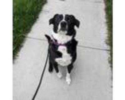 Adopt Loki a Black Labrador Retriever / Border Collie / Mixed dog in Wichita