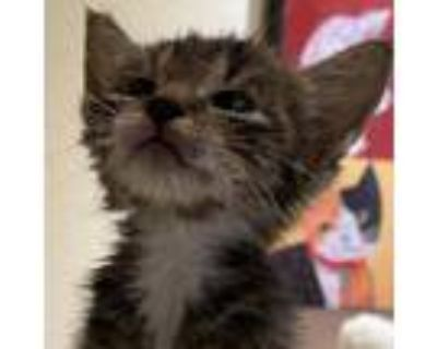 Adopt Carre a Brown or Chocolate Domestic Shorthair / Mixed cat in Folsom