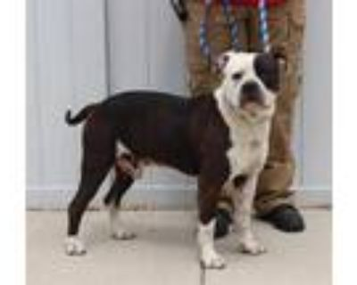 Adopt CAPTURE THE FLAG a Black - with White American Pit Bull Terrier / Mixed