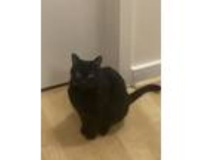 Adopt Twinkle a All Black Bombay / Mixed (short coat) cat in Oakland