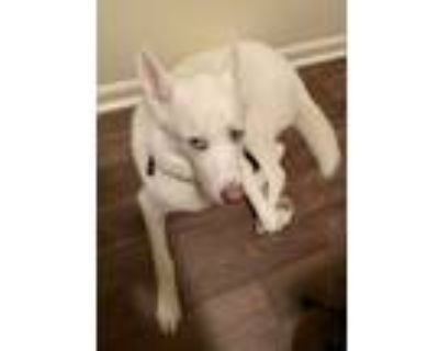 Adopt Ares a White Husky / Mixed dog in Newport News, VA (31885706)