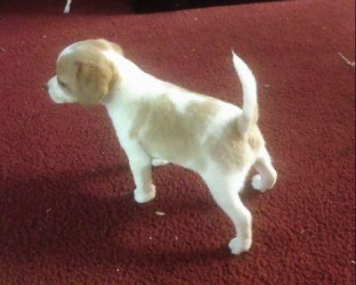 Beagle puppy pocket female