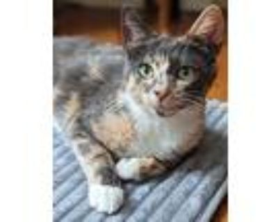 Jade: Gorgeous Affectionate Young Kitty, Calico For Adoption In Brooklyn