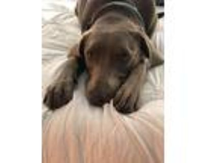 Ryder, Labrador Retriever For Adoption In Milton, Georgia