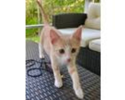 Adopt Roland a Orange or Red (Mostly) Domestic Shorthair (short coat) cat in