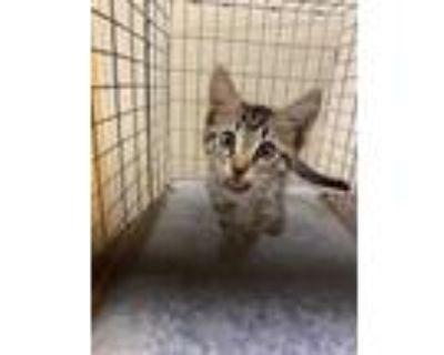 Adopt CALVIN a Brown Tabby Domestic Shorthair / Mixed (short coat) cat in Fort