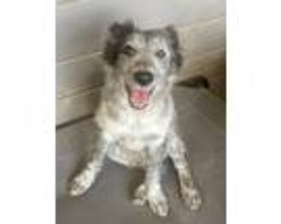 Adopt Octane a Gray/Silver/Salt & Pepper - with Black Cattle Dog / Mixed dog in