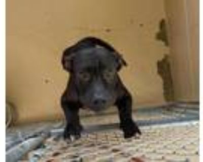 Adopt Roady a Staffordshire Bull Terrier, Mixed Breed