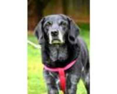 Adopt Lilly a Labrador Retriever, Border Collie