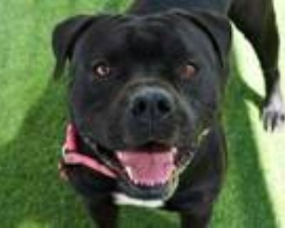 Adopt PLUTO a American Staffordshire Terrier