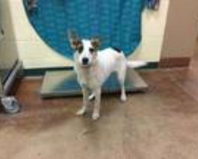 Adopt Dog a White - with Black Australian Cattle Dog / Mixed dog in Thousand