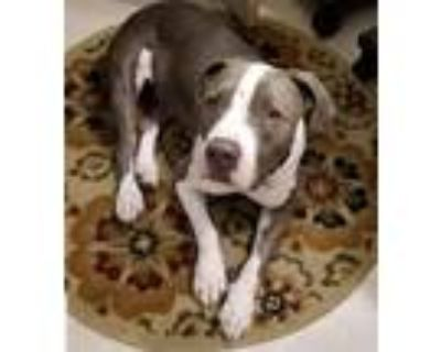 Adopt JUNIOR 4 a Gray/Silver/Salt & Pepper - with White Pit Bull Terrier / Mixed