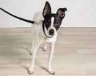Adopt Buddy Hackett (WI) a Rat Terrier