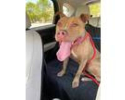 Adopt *PEANUT a Brown/Chocolate - with White American Pit Bull Terrier / Mixed