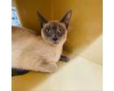 Adopt Guava a Gray or Blue Siamese / Mixed cat in Hemet, CA (32005749)