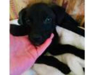 Adopt Queen a Black Labrador Retriever / Mixed dog in Shawnee, KS (31698915)