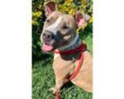 Adopt CICI a Tan/Yellow/Fawn American Pit Bull Terrier / Mixed dog in Olivette