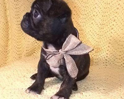 Mini Boston Terrier/Pug Puppies