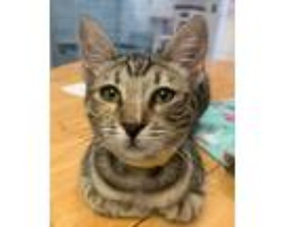 Adopt Chess a Domestic Shorthair / Mixed cat in Atascadero, CA (32039399)