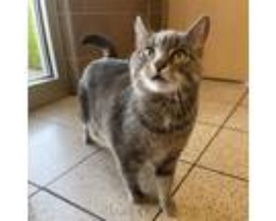 Adopt Mittens *Bonded Pair* a Gray or Blue Domestic Shorthair / Domestic