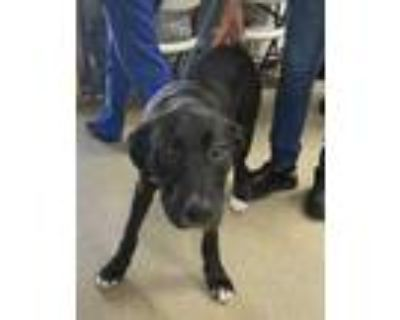 Adopt Bella a Black Retriever (Unknown Type) / Mixed dog in Fort Worth