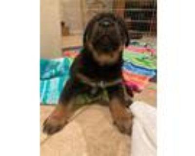 Adopt A621247 a Cane Corso, Rottweiler