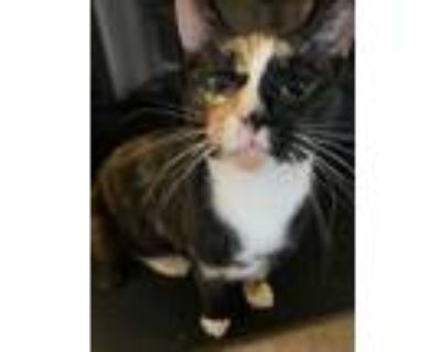 Adopt Catherine a Calico, Domestic Short Hair