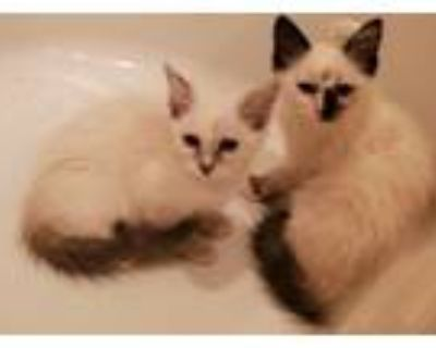 Adopt Daisy & Lily a White (Mostly) Siamese (medium coat) cat in Calabasas