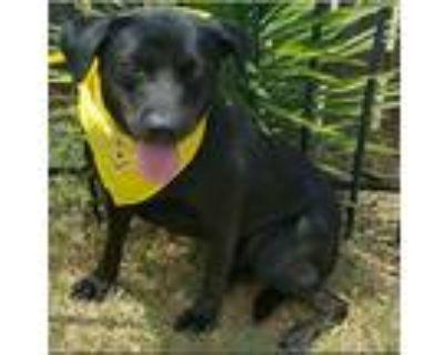 Adopt Harley a Black Labrador Retriever / Mixed dog in Shreveport, LA (13221225)
