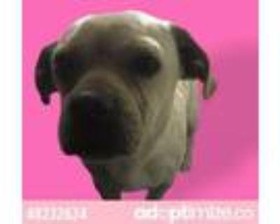 Adopt 48232624 a Pug, Mixed Breed
