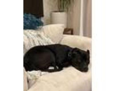 Duke, Staffordshire Bull Terrier For Adoption In Santa Monica, California
