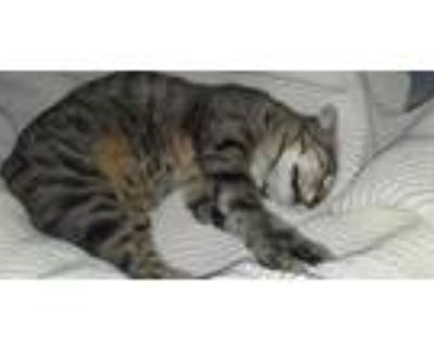 Adopt Italy a Brown Tabby Domestic Shorthair / Mixed (long coat) cat in Keyes