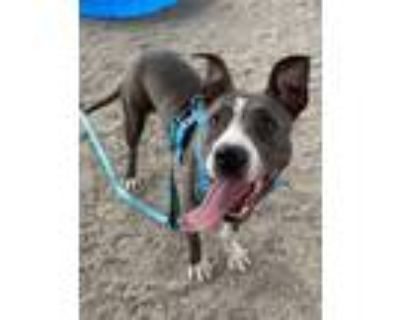 Adopt Delilah a American Pit Bull Terrier / Mixed dog in Albuquerque