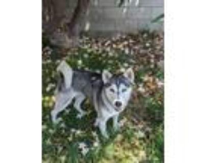 Adopt Rita a Siberian Husky