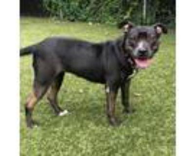 Adopt Lola a Black Labrador Retriever, Mixed Breed