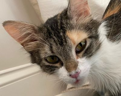 Fabienne - Domestic Longhair - Young Adult Female