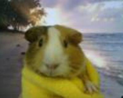 Adopt SUNSHINE a Guinea Pig